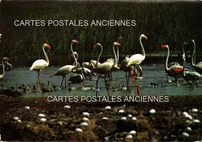 Cartes Postales Anciennes Animaux Eau Stes Maries De La Mer