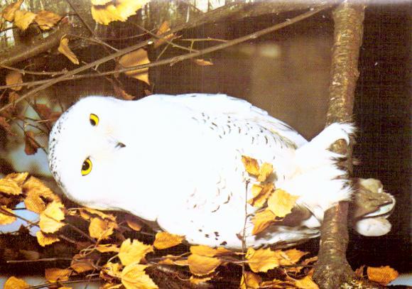 Cartes postales anciennes animaux Oiseaux